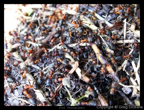 Formica Rufa - The Wood Ant - Nest in Dorset